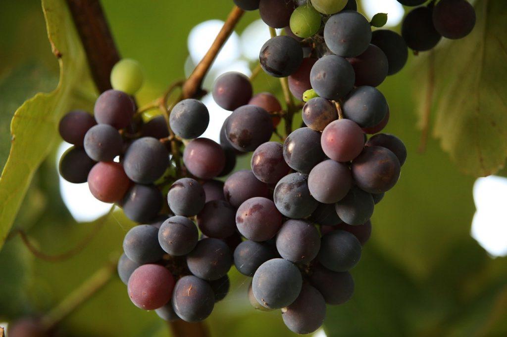 grapes, fruits, grapevine